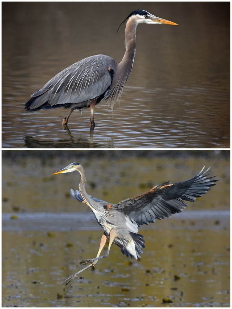 heron-oiled-wildlife-society-bc